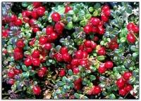 蔓越莓預防尿道炎