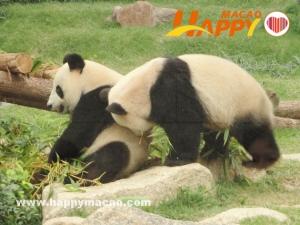 """新熊貓""""開開""""、""""心心""""月底來澳"""