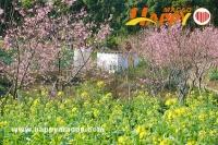 春天花事 -最近澳門的千畝櫻花園