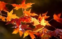 秋楓葉有抗癌作用