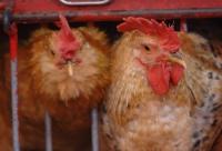 禽流感襲澳 活家禽停市三日