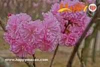 櫻花季節懷石料理