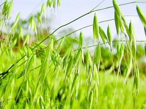 """燕麥——""""粗糙""""的高級營養品"""
