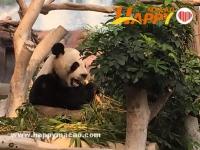 熊貓館暫停開放八日