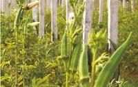 保健養生營養蔬菜——黃秋葵