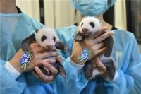 齊齊為熊貓寶寶諗好名