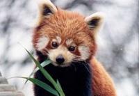 石排灣明年引入四小熊貓