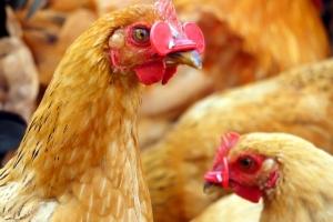 新年無雞食 即時停售活家禽最少三天