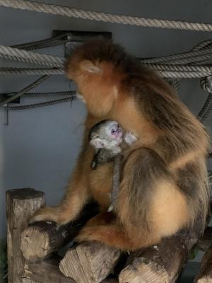 石排灣金絲猴家族添新成員