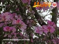 花開時節 在澳門追逐春天