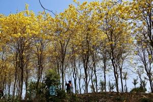 雲梯山花海 過萬枝黃花風鈴木綻放